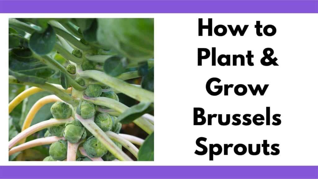"""Text """"How to plant and grow Brussels Sprouts"""" to the right of a close up image of Brussels sprouts growing on a stalk"""