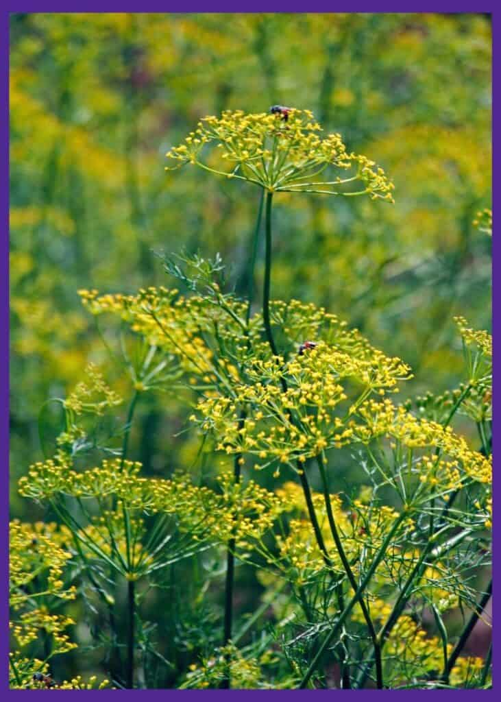 A close up image of many blossoming yellow fennel flowers