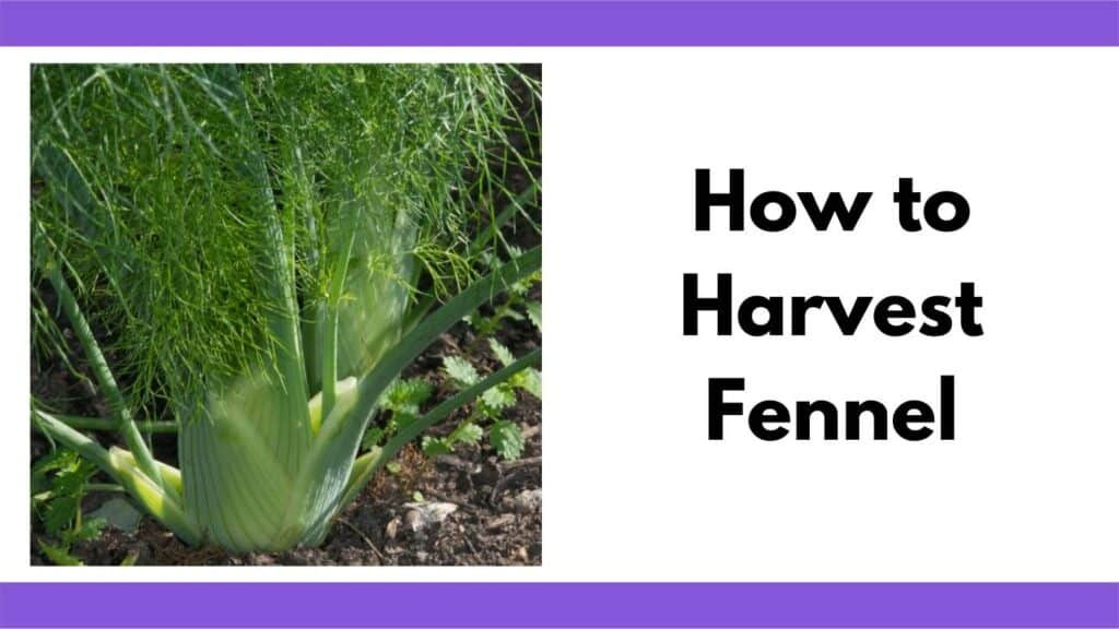 """Text """"how to harvest fennel"""" next to a close up image of a fennel plant with a forming bulb growing in a garden"""