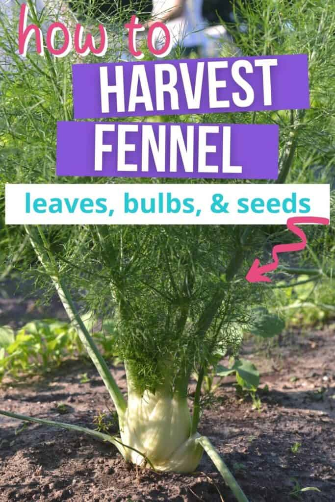 """Text """"how to harvest fennel leaves, bulbs, and seeds"""" overlay with a pink arrow pointing at a bulb fennel plant growing in a garden"""