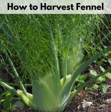 """Text overlay """"how to harvest fennel"""" over an image of a growing fennel plant in a garden"""