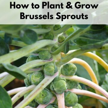 """Text overlay """"How to plant and grow Brussels sprouts"""" over a close up image of Brussels sprouts growing on a stalk"""