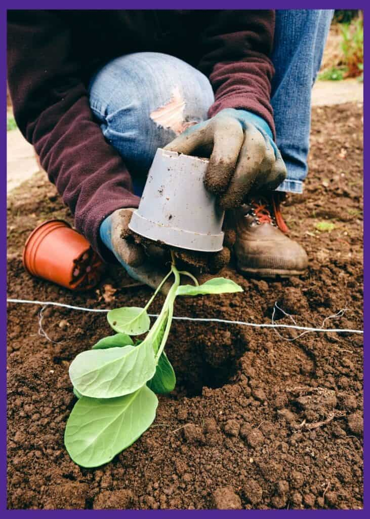 A person in bluejeans, a burgundy sweater, and work gloves holding a Brussels sprout seedling up side down to remove it from a pot for transplanting.